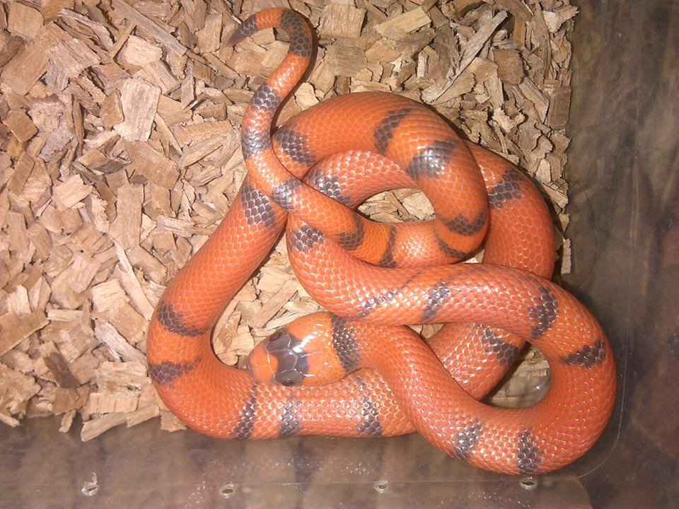 Samec Super Hypo Vanishing Lampropeltis triagulum hondurensis