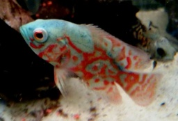 "Astronotus ocellatus - ""Blue diamond tiger - Super red\"""