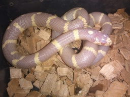 0,1 Higt Yellow Lavender L.g.caliphornie